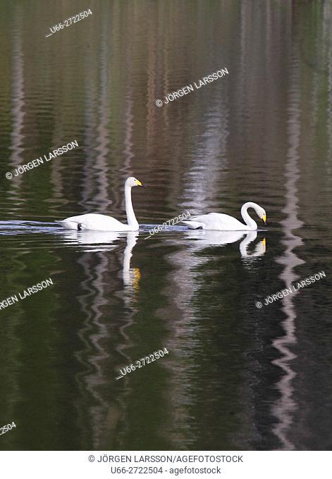 Whooper Swan (Cygnus cygnus), Malmkoping, Sodermanland, Sweden