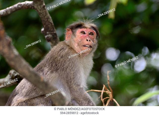 Macaque (Macaca radiata) in surroundings of Marayoor, Idukki province, Kerala, India