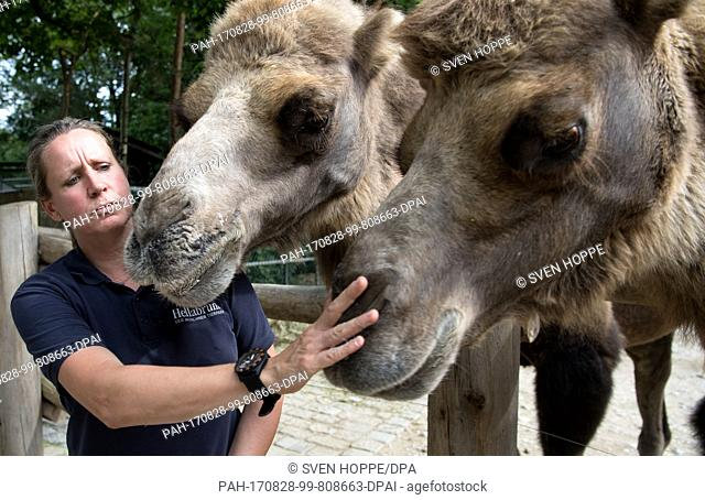 Veterinary Christine Gohl stands next to three camels in their enclosure at the animal park Hellabrunn in Munich, Germany, 17 August 2017