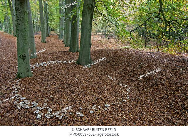 Mushroom (Clitocybe nebularis) fairy ring, Lochem, Netherlands
