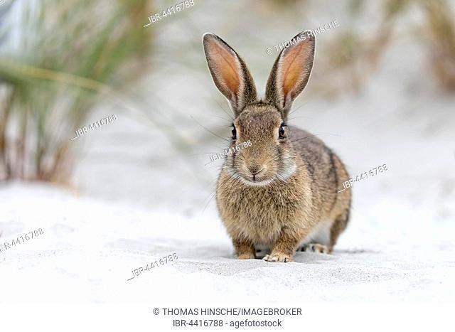Wild rabbit (Oryctolagus cuniculus), beach dunes, Mecklenburg-Vorpommern, Germany