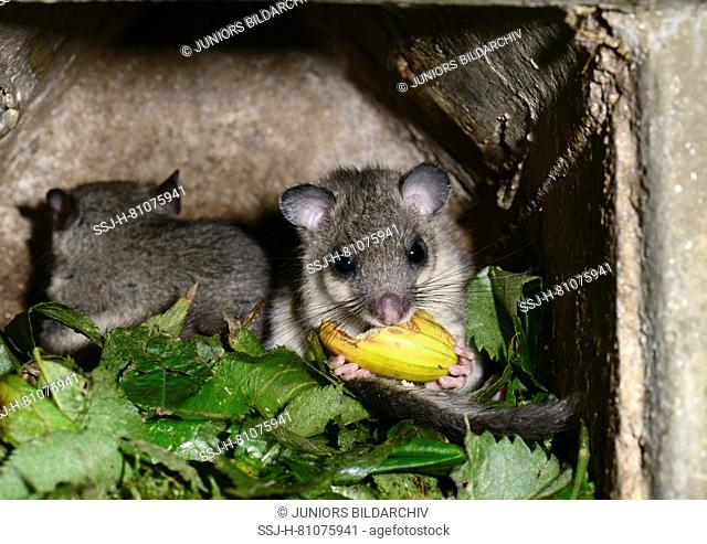 Edible Dormouse (Glis glis). Two individuals in a nesting box, one of them eating an acorn. Germany