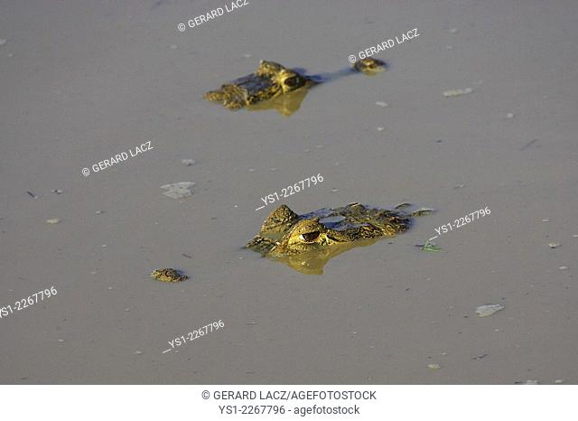 Spectacled Caiman, caiman crocodilus, Heads emerging from River, Los Lianos in Venezuela