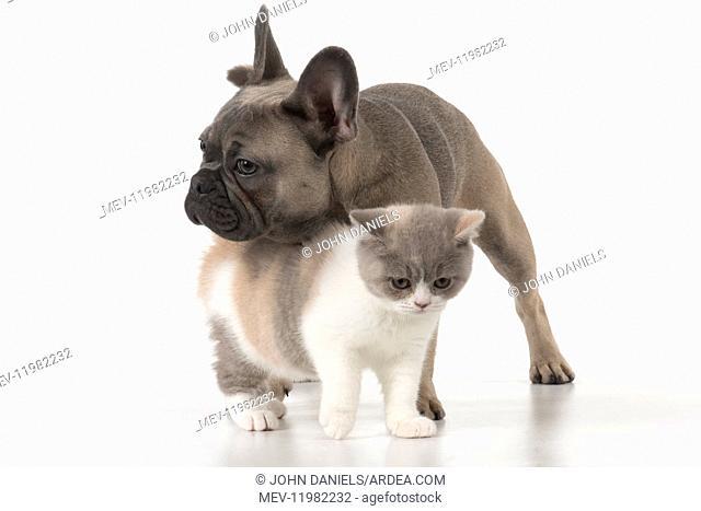 DOG. French Bulldog with British shorthair cat