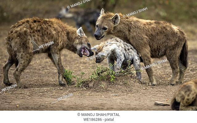 Adult spotted hyena disciplining the puppies in Masai Mara