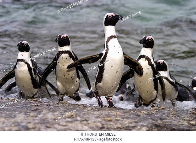 Jackass Pinguin, Spheniscus demersus, Boulder's Beach, Capetown, South Africa
