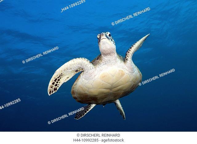 Green Sea Turtle, Chelonia mydas, Komodo National Park, Indonesia