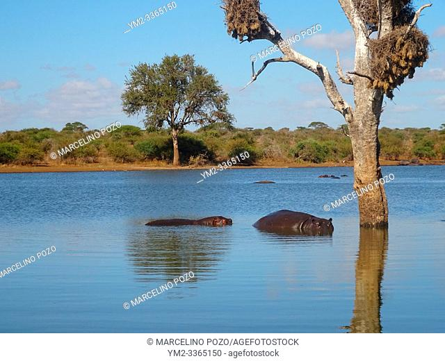 Hippopotamus in the river Kruger National Park South Africa