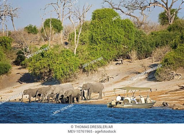 Tourists on a boat cruise on the Chobe River observe a breeding herd of African Elephants which are drinking at the river bank (Loxodonta africana)