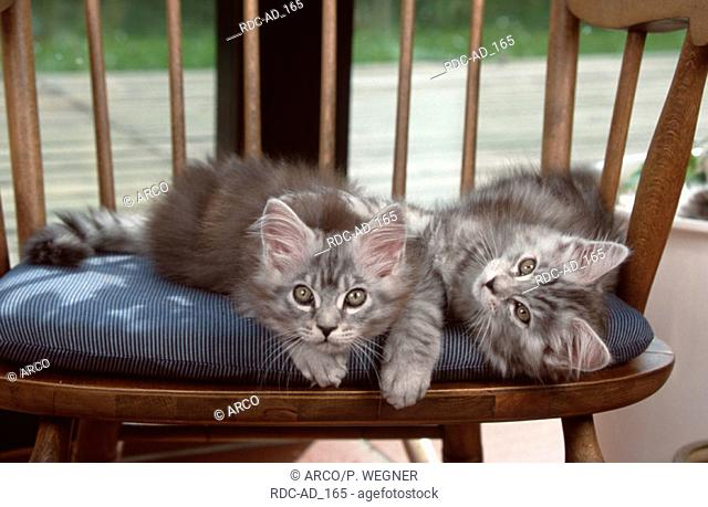 Maine Coon Cats kittens chair
