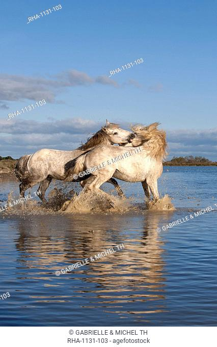 Camargue horses, stallions fighting in the water, Bouches du Rhone, Provence, France, Europe