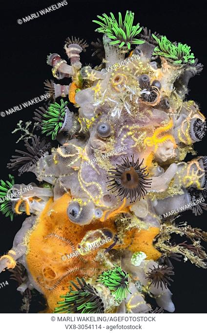 Encrusting Invertebrates, including anemones, sponges and brittle stars, Lembeh Strait, North Sulawesi, Indonesia, Pacific