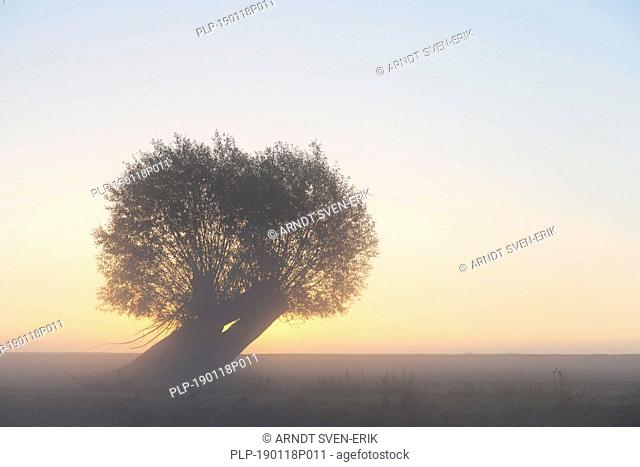 Pollard willow / pollarded white willow (Salix alba) in field with early morning mist in autumn at sunrise