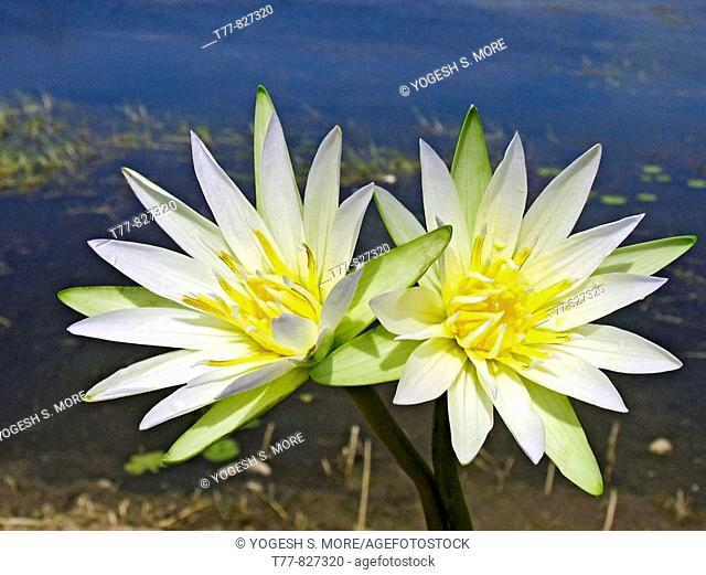 Nymphaea odorata White Lotus Water Lilly flowers in a water pond Harantale, Pune, Maharashtra, India