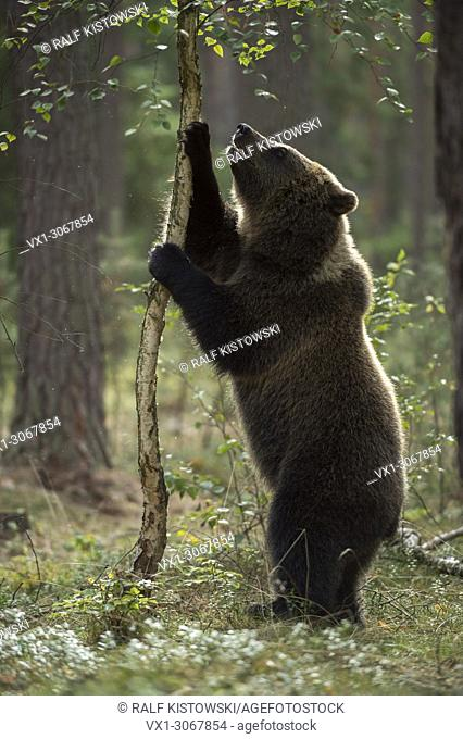 European Brown Bear ( Ursus arctos ), young animal, exploring its surrounding, standing on hind legs, funny, Europe