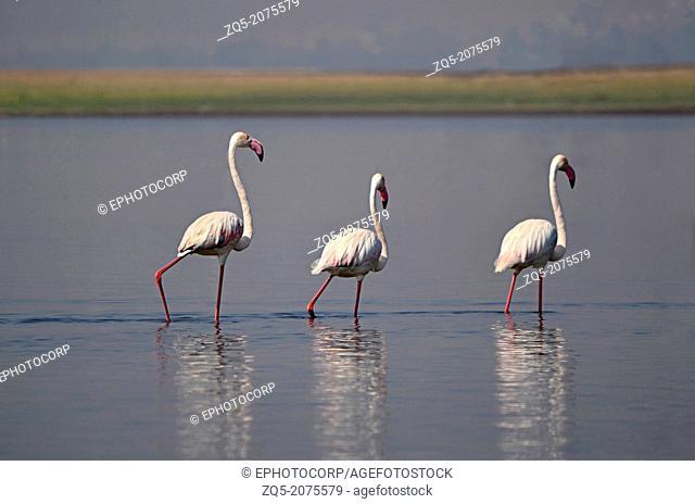 The Greater Flamingo, Phoenicopterus roseus, India