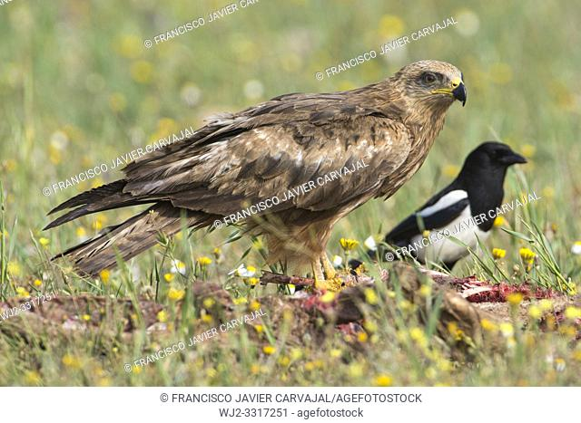 Black kite (Milvus migrans) in a meadow in Extremadura, Spain