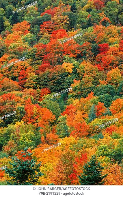 Autumn color of sugar maple (Acer saccharum) stands out in northern hardwood forest, near Dixville Notch, northern New Hampshire, USA