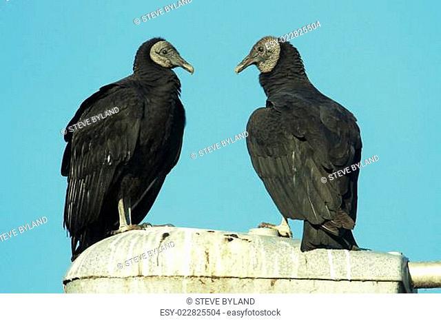 Pair of Black Vultures