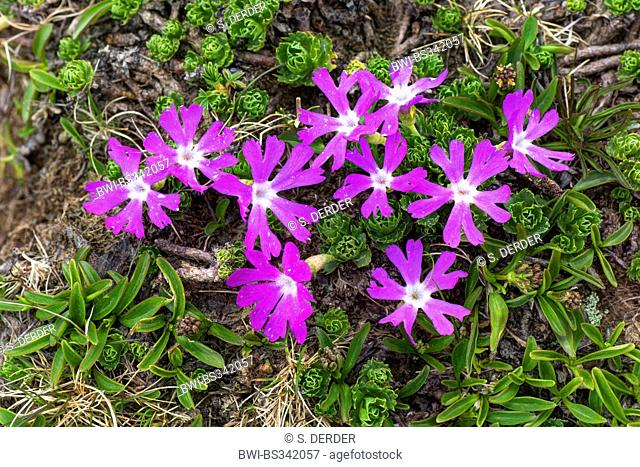 Alpine primrose (Primula minima), blooming, Austria, Kaernten, Nockberge National Park