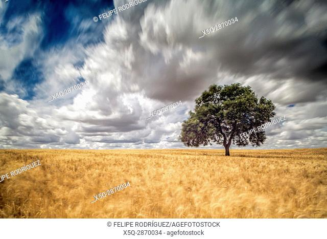 Holm oak on a mature wheat field on a windy day, Huevar del Aljarafe, Seville, Spain. Long exposure shot