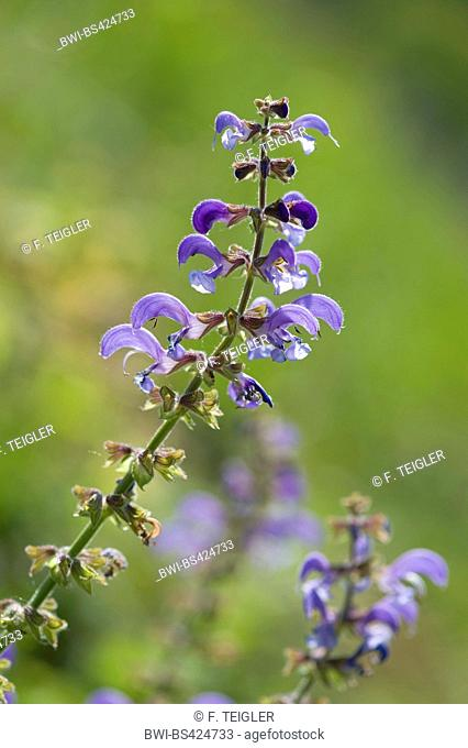 meadow clary, meadow sage (Salvia pratensis), blomming, Germany