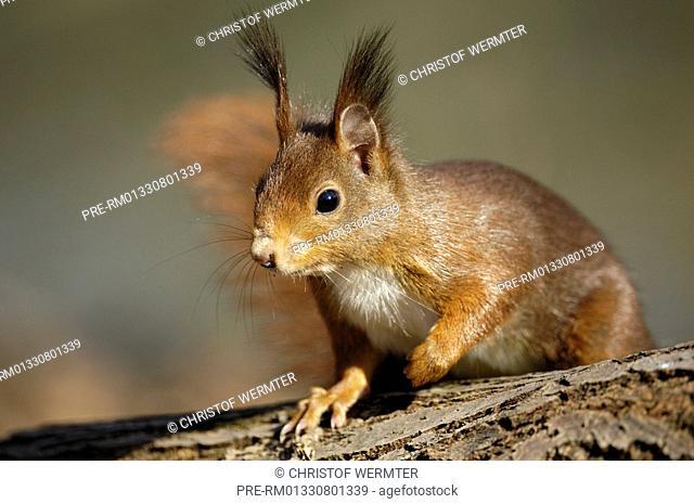 European red squirrel, Eurasian red squirrel, Sciurus vulgaris