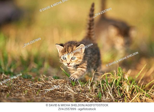 Five week old domestic cat (Felis silvestris catus) kitten on a meadow in late summer