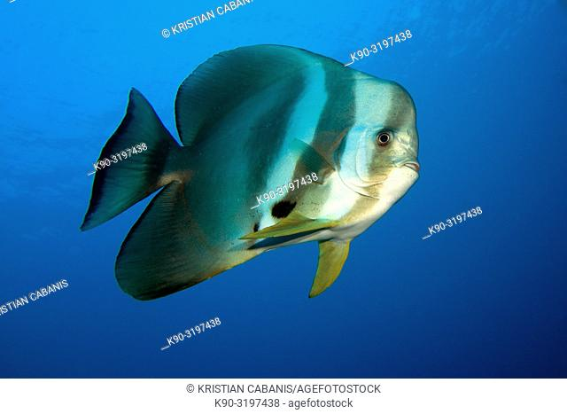Tall-fin batfish ((Platax teira) swimming in the blue, Indian Ocean, Maledives, South Asia
