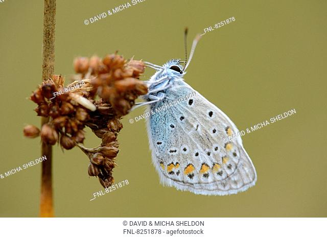 Close-up of a Common Blue (Polyommatus icarus) at a grass stalk