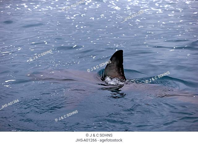 Great White Shark, (Carcharodon carcharias), fin, Simonstown, Western Cape, South Africa, Africa