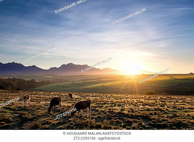 Landscape photo of cows grazing below the Outeniqua mountains. George, Western Cape, South Africa