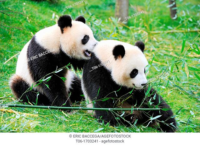 Giant panda pair play fighting Ailuropoda melanoleuca captive  ZooParc Beauval France