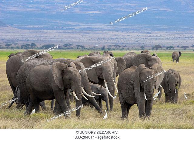 African Elephant (Loxodonta africana). Herd foraging at Amboseli National Park, Kenya