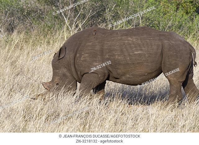 White rhinoceros (Ceratotherium simum), adult male, foraging, with two perched red-billed oxpeckers (Buphagus erythrorhynchus), Kruger National Park