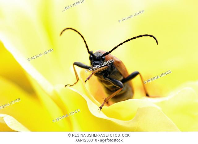 Long-horn Beetle Leptura rubra, feeding on rose in garden, Germany