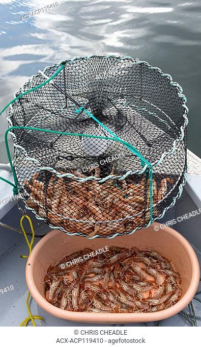 Wild BC Spot Prawns, Pandalus platyceros, also called California spot prawn or Alaskan prawn,Victoria, British Columbia, Canada