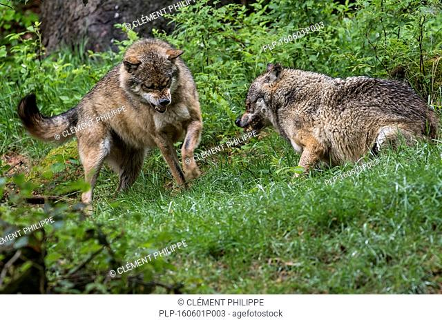 Two aggressive gray wolves / grey wolves (Canis lupus) fighting while snarling with bared canines for dominance