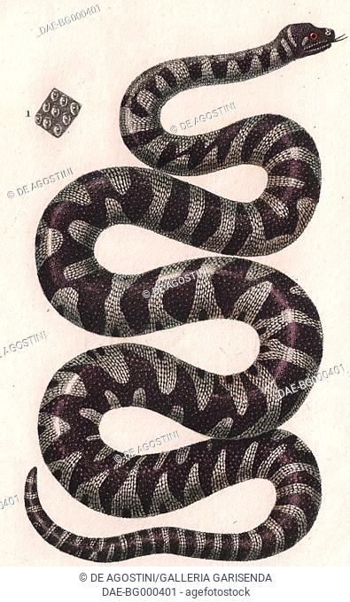 Wart snake or Filesnake (genus Acrochordus), colour copper engraving, retouched in watercolour, 9x15 cm, from Dizionario delle scienze naturali compilato da...