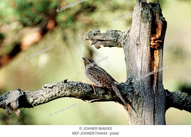 A wryneck on a branch, Finland