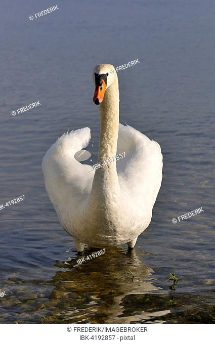 Mute Swan (Cygnus olor) standing in shallow water, Lake Constance, Baden-Württemberg, Germany