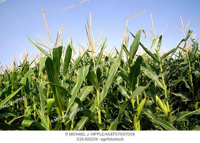 Cornfields outside Royal City. Washington. USA