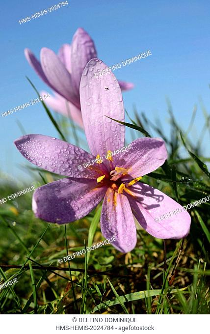 France, Doubs, flora, autumn crocus, Crocus autumn, morning dew