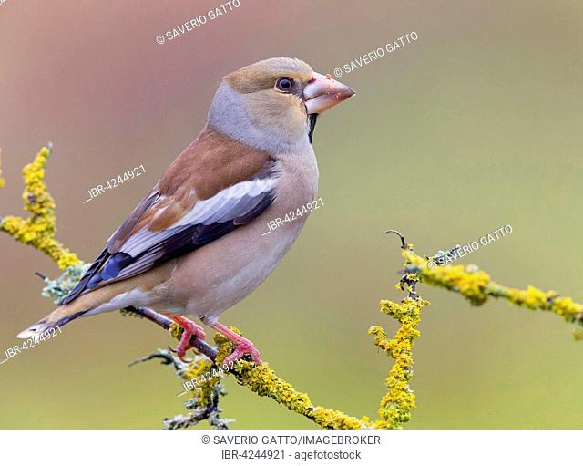 Hawfinch (Coccothraustes coccothraustes), female perched on a branch, Tuscany, Italy