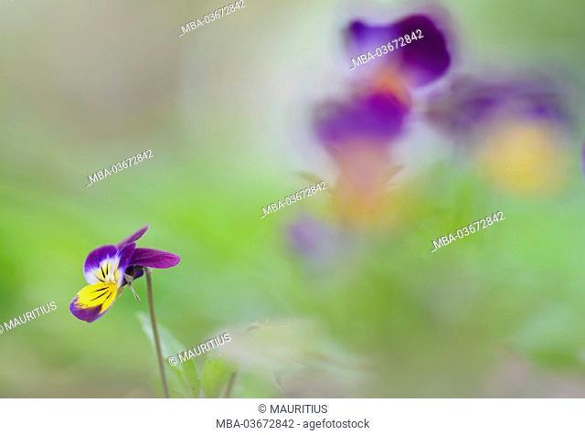Wild pansy, viola tricolour, color