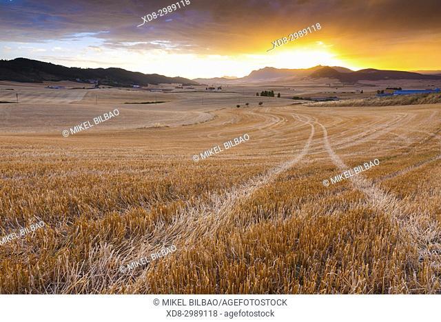 Cereal land. Olejua. Tierra Estella county, Navarre, Spain, Europe