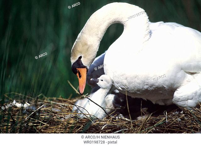 Mute, Swan, with, chick, on, nest, Germany,Cygnus, olor