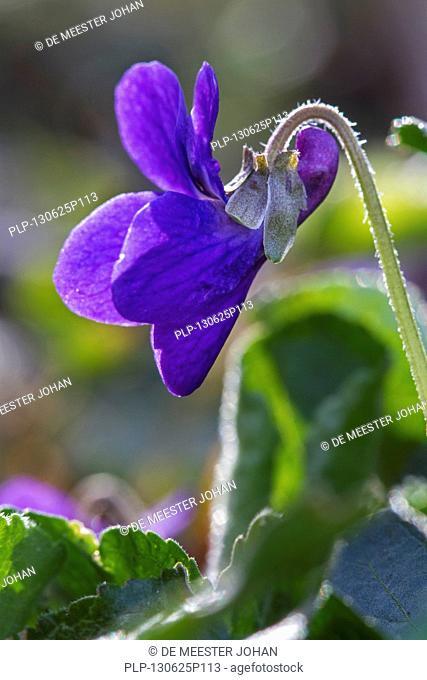 Wood violet / sweet violets / English violet (Viola odorata) in flower in spring