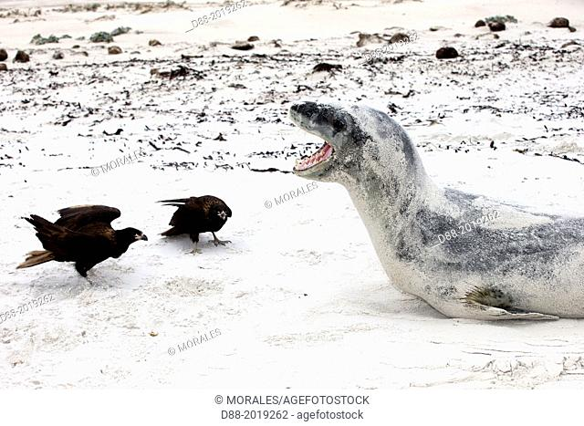 Falkland Islands, Saunders island, Leopard Seal Hydrurga leptonyx with a Johnny Rook, or Striated Caracara Phalcoboenus australis,