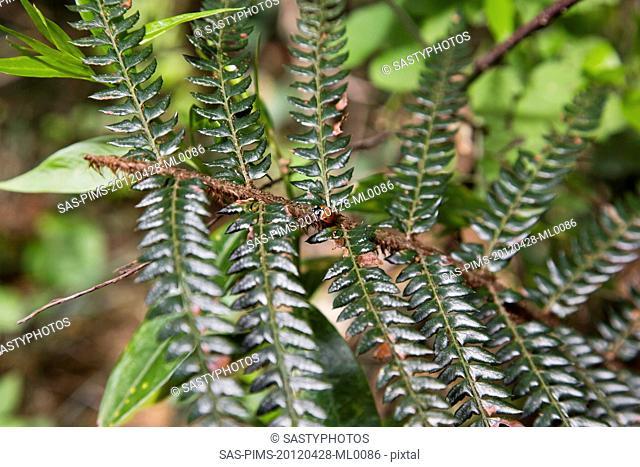 Close-up of fern leaf, Shimla, Himachal Pradesh, India